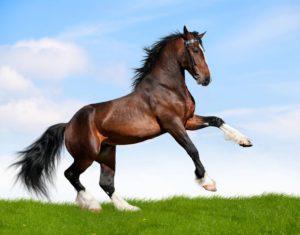 entretien des pieds de son cheval
