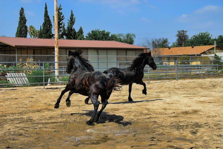 ranch cheval mammifère étalon les chevaux jument Équitation bête de somme Fourrure noire Frison Cheval comme le mammifère Cheval mustang Équitation anglaise